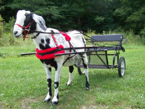 cowboycart1.w300h225 harness goats goat harness at crackthecode.co