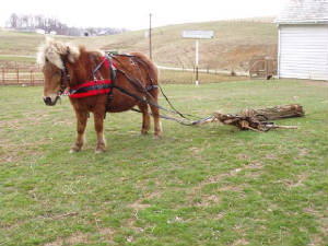 Miniature Horses and Mules